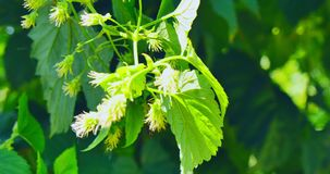 Fresh young hop cones. The close view of young green hop flowers cones. The ingredients of beer stock footage