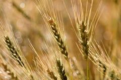 Close Wheat in Field Stock Photo