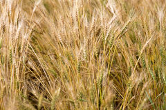 Close Wheat in Field Royalty Free Stock Image