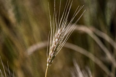 Close Wheat in Field Royalty Free Stock Photo