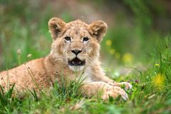 Young lion cub in the wild. Close young lion cub in the wild royalty free stock photography
