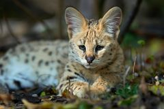 Close young serval cat. Felis serval royalty free stock image
