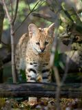 Serval cat Felis serval. Close young serval cat Felis serval royalty free stock images