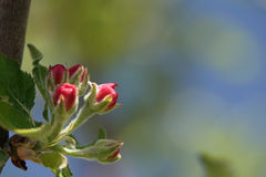 Closed Apple Blossoms. Blue sky green tree background Royalty Free Stock Photo