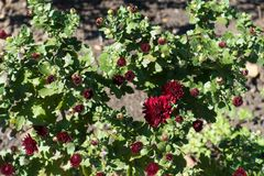 Closed buds and red flowers of Chrysanthemum. Closed buds and dark red flowers of Chrysanthemum Stock Photo
