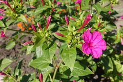 Closed buds of Mirabilis jalapa plant. Closed flower buds of Mirabilis jalapa plant Royalty Free Stock Photos