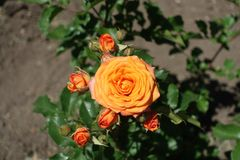 Closed buds and orange flower of rose in June. Closed buds and orange flower of garden rose in June royalty free stock image