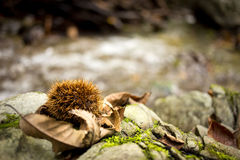 Closed chestnut lying next to forest stream Royalty Free Stock Photography