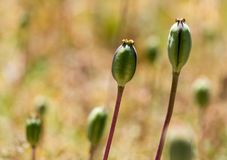 Closed flower bud of opium poppy in nature Royalty Free Stock Photo