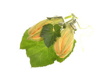 The closed flower of vegetable marrow. And green leaves isolated on white background Stock Image