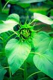 Closed  green sunflower Stock Photo