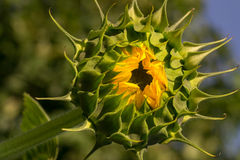 Closed green sunflower at sunrise Royalty Free Stock Photos