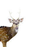 Closed ip of the chital deer with beautiful antler isolated. With white background Royalty Free Stock Photo