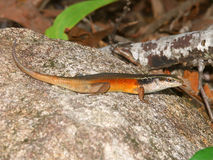 Closed-litter rainbow skink (Carlia longipes). On Fitzroy Island - Queensland, Australia Stock Photo