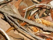 Closed-litter rainbow skink (Carlia longipes) royalty free stock photo