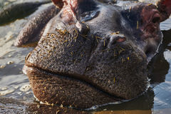 Closed mouth of a hippo Royalty Free Stock Photo