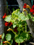 Closed nasturtium flower buds Stock Photos