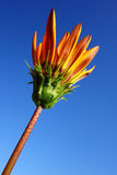 Closed Orange Gazania Royalty Free Stock Image