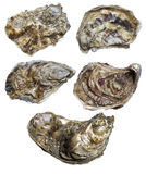Closed oyster. Isolated on white background Royalty Free Stock Photo