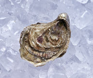 Closed oyster on ice Royalty Free Stock Image