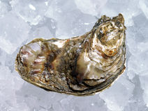 Closed oyster on ice Royalty Free Stock Photography