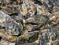 Closed oysters seafood store Royalty Free Stock Photography