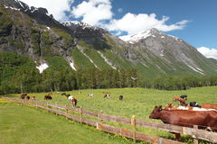Closed pasture with cows. Europe. Norway. Closed pasture with cows Royalty Free Stock Image