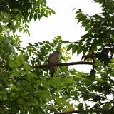 Closed at pigeon perched on branch of green tree. Focus at pigeon perched on branch of green tree Stock Photo