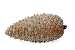 Closed pine cone. Isolated on white background Royalty Free Stock Images