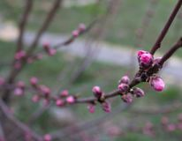 Closed pink buds on a tree on a cloudy day stock photo