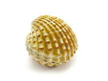 Closed scallop shell. Isolated on a white background Royalty Free Stock Photo