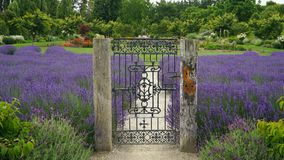 Closed steel gate in lavender farm, New Zealand royalty free stock image