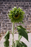 Closed sunflower against brick wall Stock Image