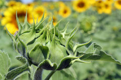 Closed sunflower close up Royalty Free Stock Photography