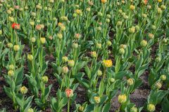 Closed tulips Stock Photos