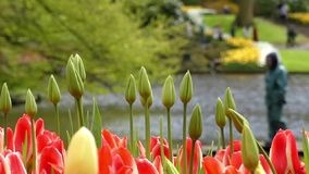 Closed Tulips Heads in the Flower Park. Slow Motion. The Close up Shot stock video