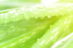 Closed-up of Aloe Vera leaves as background. Royalty Free Stock Photography