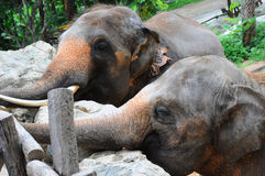 Closed up asian elephant in a zoo Stock Photography