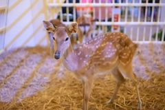 Closed up baby deer standing alone in the wooden cage at animal. Roadshow. Selective focus Stock Image