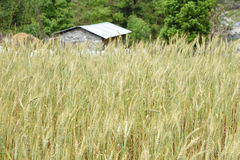 Closed up barley field in Nepal Royalty Free Stock Image