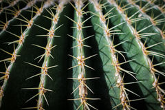 Closed up of barrel cactus. Close up of globe shaped cactus with long thorns royalty free stock image