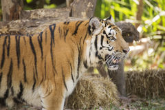 Closed up Bengal tiger Royalty Free Stock Images