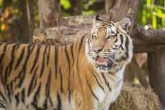 Closed up Bengal tiger Royalty Free Stock Image