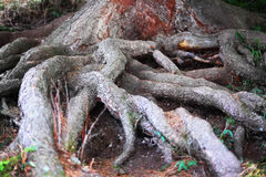 Closed up big tree roots Royalty Free Stock Photography