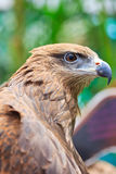 Closed up Black Kite Royalty Free Stock Photography