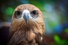 Closed up Black Kite Stock Images
