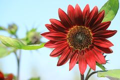 Closed Up Blooming Deep Red Sunflower Against Sunny Blue Sky. Texture Background stock photos