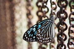 Closed up  blue green butterfly rusty chain background stock images