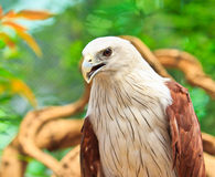 Closed up Brahminy Kite Royalty Free Stock Images