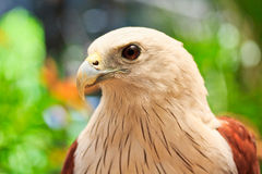 Closed up Brahminy Kite Royalty Free Stock Photo